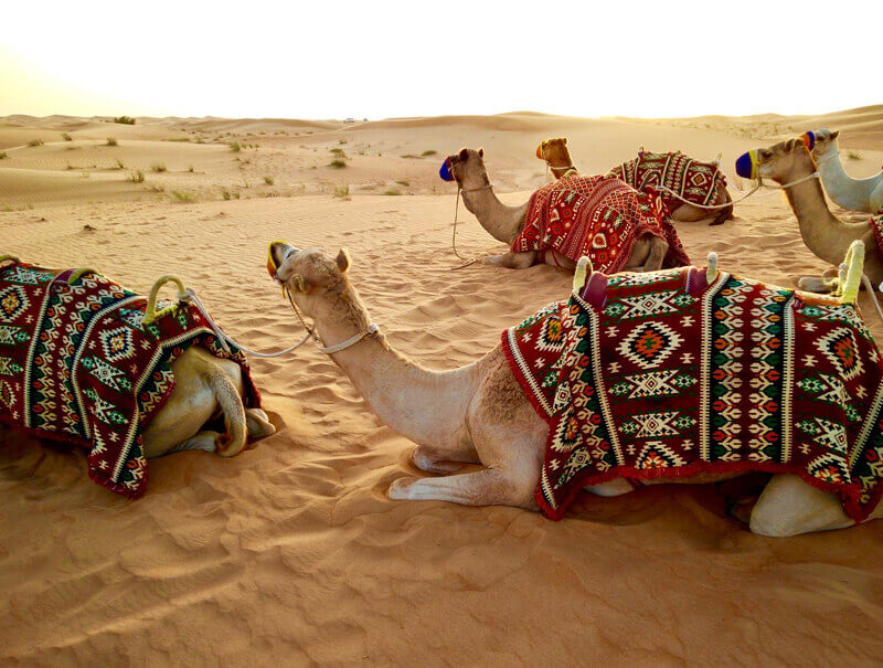 Camels-rest-in-the-sand