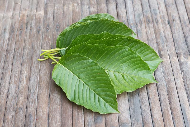 Kratom leaves spread in fan